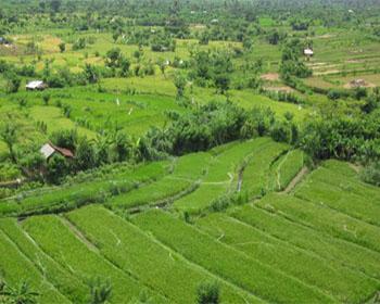 Karang Asem Padi Field